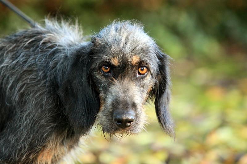 chien femelle de race croise griffon disponible l 39 adoption spa de bergerac. Black Bedroom Furniture Sets. Home Design Ideas