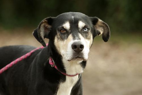 chien femelle de race croise husky disponible l 39 adoption spa de bergerac. Black Bedroom Furniture Sets. Home Design Ideas