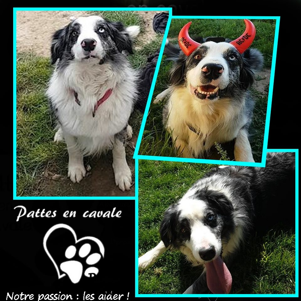 1561532705338 CHIEN de race border collie